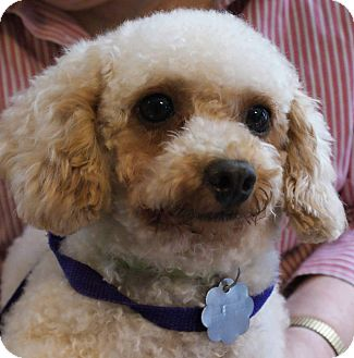 Poodle (Miniature) Dog for adoption in New Freedom, Pennsylvania - Lucy