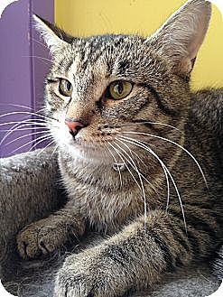 Domestic Shorthair Cat for adoption in Richboro, Pennsylvania - Kate Winslet