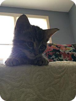 Domestic Shorthair Kitten for adoption in Webster, Massachusetts - Bagera