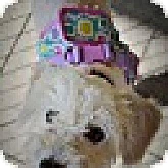 Maltese Puppy for adoption in San Diego, California - Jazzy