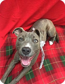 Staffordshire Bull Terrier Mix Dog for adoption in Ocean View, New Jersey - Noel