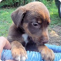 Adopt A Pet :: *Mocha - PENDING - Westport, CT