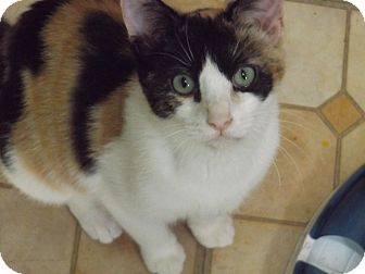 Calico Kitten for adoption in Floral City, Florida - Tootsie