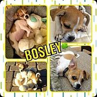 Chihuahua Mix Dog for adoption in Scottsdale, Arizona - Bosley