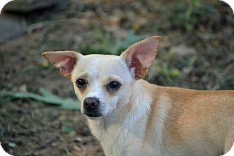Chihuahua Mix Dog for adoption in Hagerstown, Maryland - Theodore Franklin