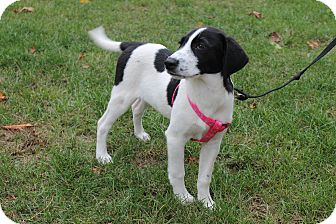 Brittany/Border Collie Mix Puppy for adoption in West Milford, New Jersey - WILLOW-pending