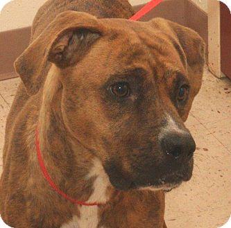 Boxer Mix Dog for adoption in McDonough, Georgia - T-Lacy