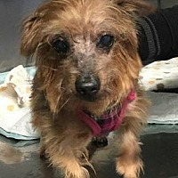 Yorkie, Yorkshire Terrier Dog for adoption in Freeport, New York - Choffee