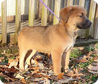 Beagle/Labrador Retriever Mix Puppy for adoption in Hartford, Connecticut - Tally