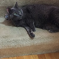 Domestic Shorthair Cat for adoption in Fox River Grove, Illinois - Blue