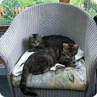 Adopt A Pet :: **MOLLY & TOOTSIE- BONDED PAIR - Swansea, MA