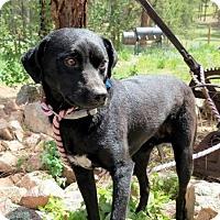 Adopt A Pet :: Diesel - Englewood, CO