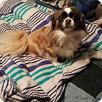 Adopt A Pet :: Shiloh(PENDING) - Inver Grove, MN