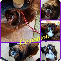Adopt A Pet :: Cinnamon - Ft Worth, TX