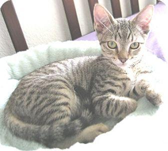 Domestic Shorthair Kitten for adoption in North Highlands, California - BorisR