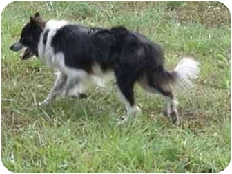 Border Collie Dog for adoption in Tiffin, Ohio - Serena--ADOPTED!!!