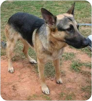 German Shepherd Dog Dog for adoption in Dahlonega, Georgia - Max