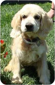 Cocker Spaniel Dog for adoption in Sugarland, Texas - Roper