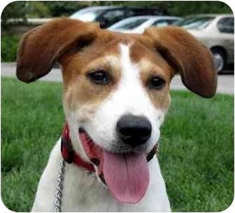 Labrador Retriever Mix Puppy for adoption in Overland Park, Kansas - Hanna