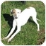 Photo 2 - Whippet Puppy for adoption in Ile-Perrot, Quebec - Guimauve
