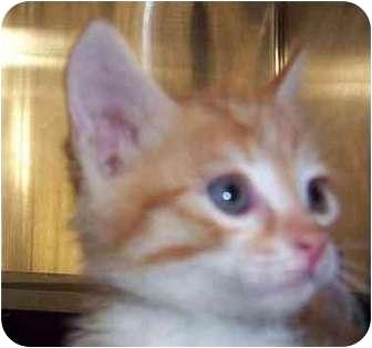 Domestic Shorthair Kitten for adoption in San Diego/North County, California - Jason