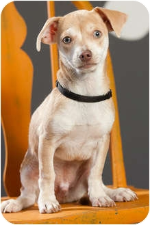 Dachshund/Chihuahua Mix Puppy for adoption in Portland, Oregon - Tanner