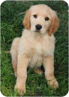 Golden Retriever Mix Puppy for adoption in Yuba City, California - Butterball