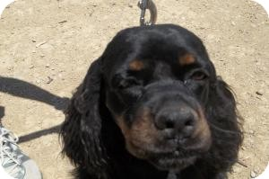 Cocker Spaniel Dog for adoption in Arenas Valley, New Mexico - Boogie Woogie