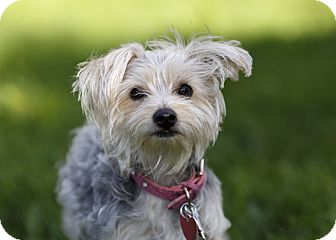 Yorkie, Yorkshire Terrier/Maltese Mix Dog for adoption in Ile-Perrot, Quebec - Paige