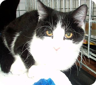 Domestic Shorthair Cat for adoption in Germansville, Pennsylvania - Elvis