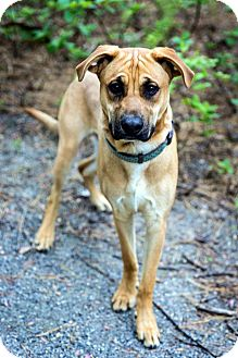 Shepherd (Unknown Type) Mix Dog for adoption in Tinton Falls, New Jersey - Ty