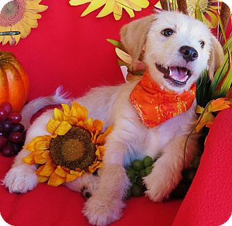 Labrador Retriever/Terrier (Unknown Type, Small) Mix Puppy for adoption in Irvine, California - Hobbs