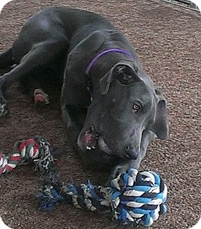 Great Dane Puppy for adoption in Nicholasville, Kentucky - Sela (PENDING ADOPTION)