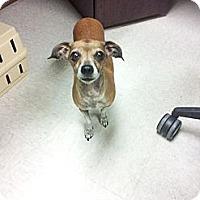 Adopt A Pet :: Lady - Antioch, IL
