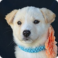 Adopt A Pet :: Ginger Rogers - Plano, TX