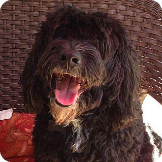 Cockapoo Mix Dog for adoption in Sacramento, California - Jasper
