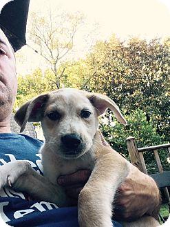 Golden Retriever/Labrador Retriever Mix Puppy for adoption in Fishkill, New York - HUDSON