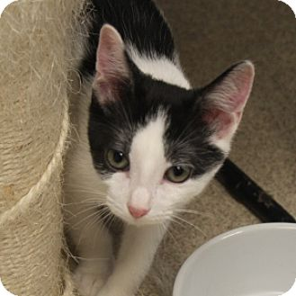 Domestic Shorthair Kitten for adoption in Naperville, Illinois - Mickey