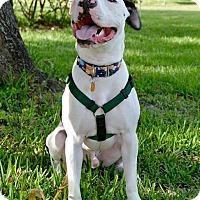 Adopt A Pet :: Quinn - Orlando, FL
