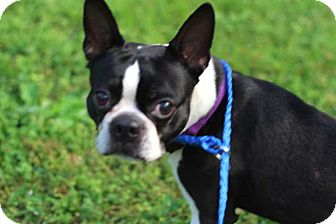 Boston Terrier Mix Dog for adoption in Salem, New Hampshire - BOSTON BILL
