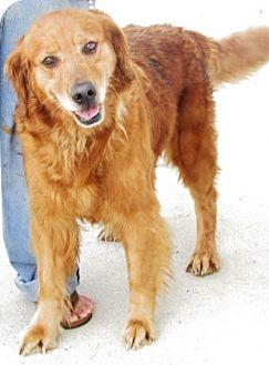 Golden Retriever Mix Dog for adoption in Oswego, Illinois - I'M ADOPTED Teagen Bonnivier