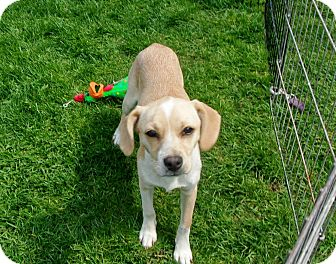 Beagle Puppy for adoption in Liberty Center, Ohio - Meadow