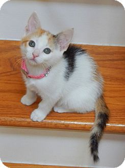 Domestic Shorthair Kitten for adoption in Chattanooga, Tennessee - Tweety
