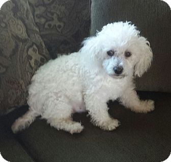 Poodle (Miniature) Dog for adoption in Conway, Arkansas - Helen