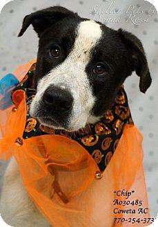 Pointer/Border Collie Mix Dog for adoption in Newnan City, Georgia - Chip