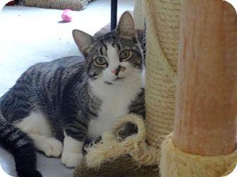 Domestic Shorthair Cat for adoption in Colmar, Pennsylvania - Smudge