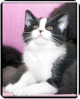 Domestic Shorthair Kitten for adoption in Wakefield, Massachusetts - Sarah