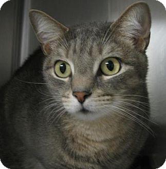 Domestic Shorthair Cat for adoption in Voorhees, New Jersey - Keon-declawed-PetValu Marlton
