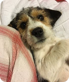 Beagle/Shih Tzu Mix Puppy for adoption in Fairview Heights, Illinois - Lady
