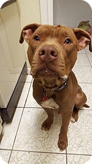 Pit Bull Terrier Dog for adoption in Sanford, Florida - Dude